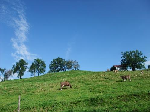 Kühe nördlich vom Gaiser Bahnhof